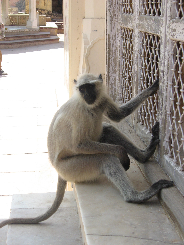 scimmia sul bianco