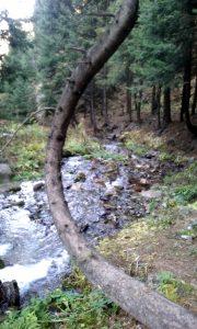 Tronco curvo nella foresta di pini